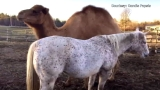 Horse bonds with Seeing Eye camel