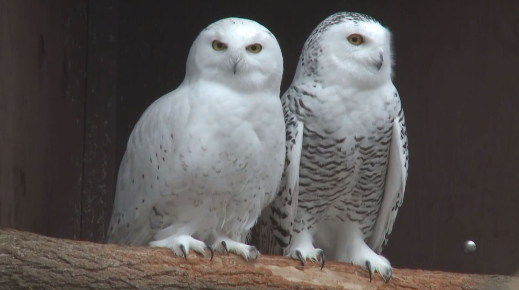 Look for snowy owls flying through Mishawaka // WSBT 22 Photo<p></p>