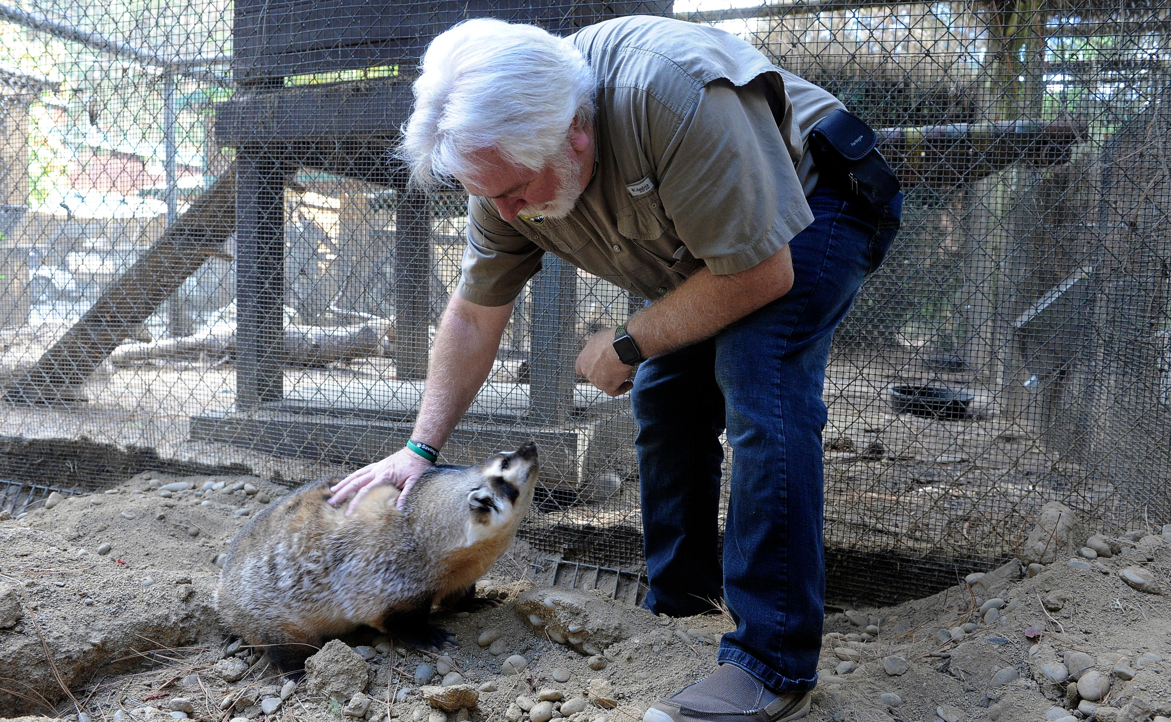 Andy Atkinson / Mail Tribune{ } David Siddon plays with a badger named Nubs at Wildlife Images.