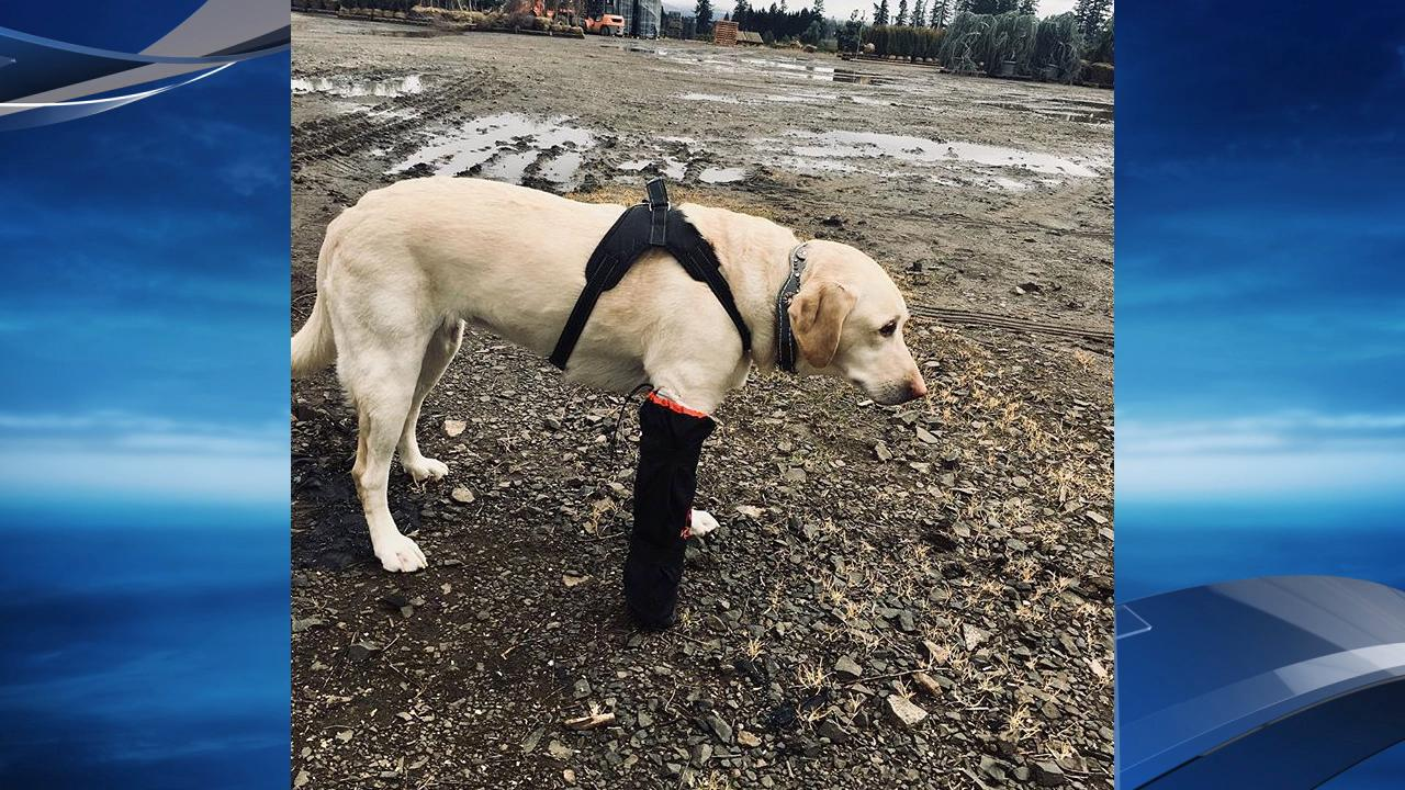 Opal was not a happy camper with her cast on. (Photo: Barb Linder)