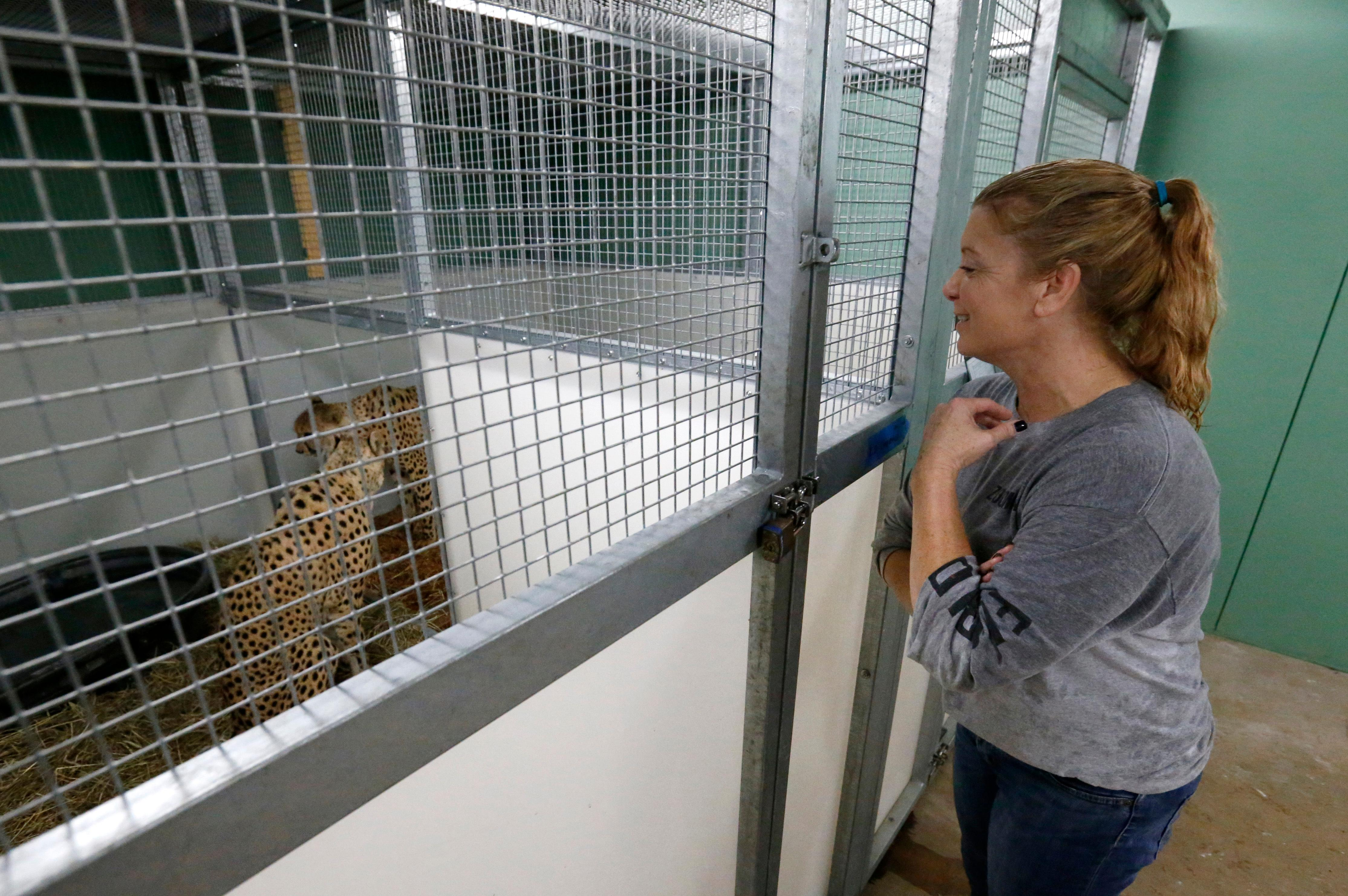 Jennifer Nelson, right, senior keeper at Zoo Miami, smiles as she watches brother cheetahs named Koda and Diesel after they were moved to a hurricane resistant structure within the zoo, Saturday, Sept. 9, 2017 in Miami. Though most animals will reman in their secure structures, the cheetahs and some birds will ride out the storm in temporary housing. (AP Photo/Wilfredo Lee)