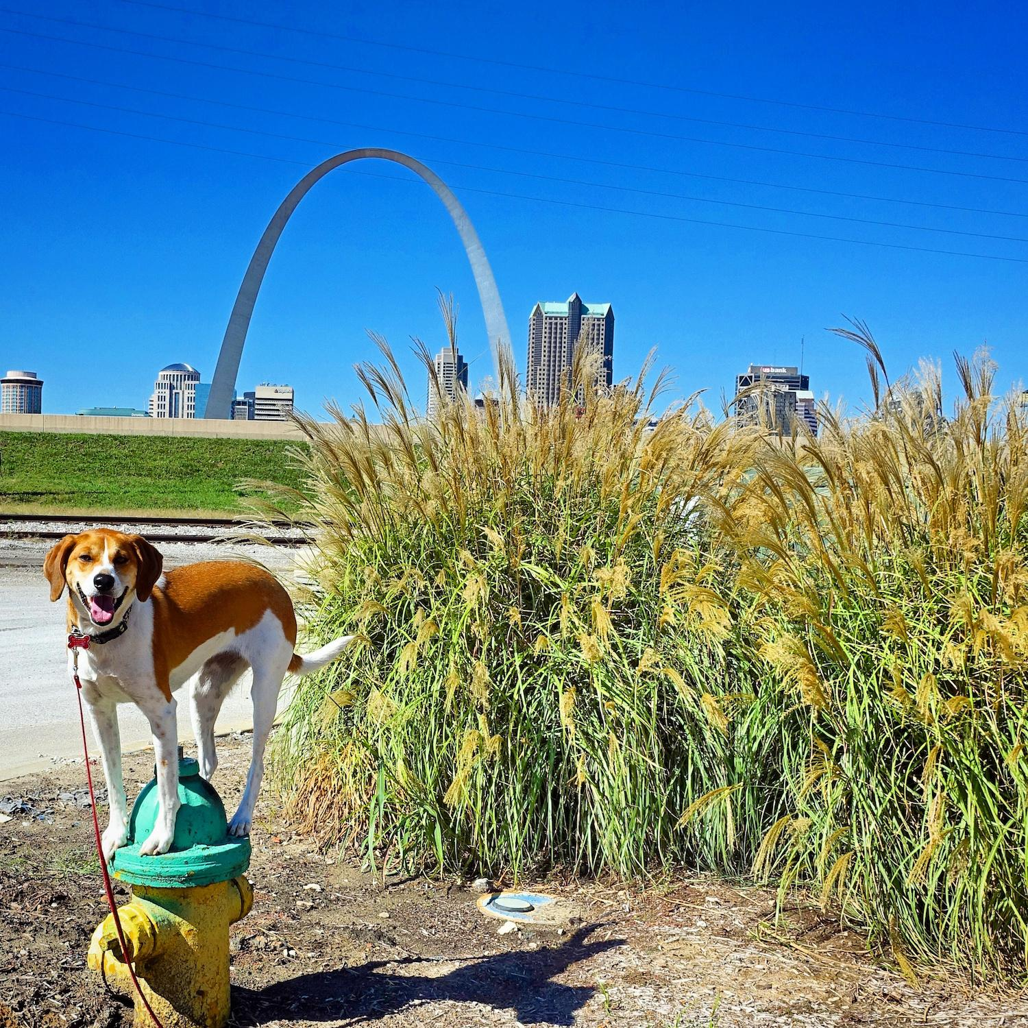 LOCATION: St. Louis Arch / Mollie is a local Instagram celebrity. Famous for posing on fire hydrants in front of ArtWorks murals (and other Cincy landmarks), this hound dog has officially stolen our hearts. You can follow her adventures on Instagram @molliethehounddoggie / Image: Patti Mossey (Mollie's owner and #1 fan) // Published: 5.1.18