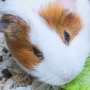 Over 100 guinea pigs up for adoption after couple dumps them in field