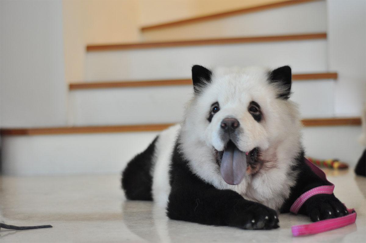 panda chow puppies wwwimgkidcom the image kid has it