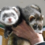 Ferrets rescued after being abandoned at a dumpster