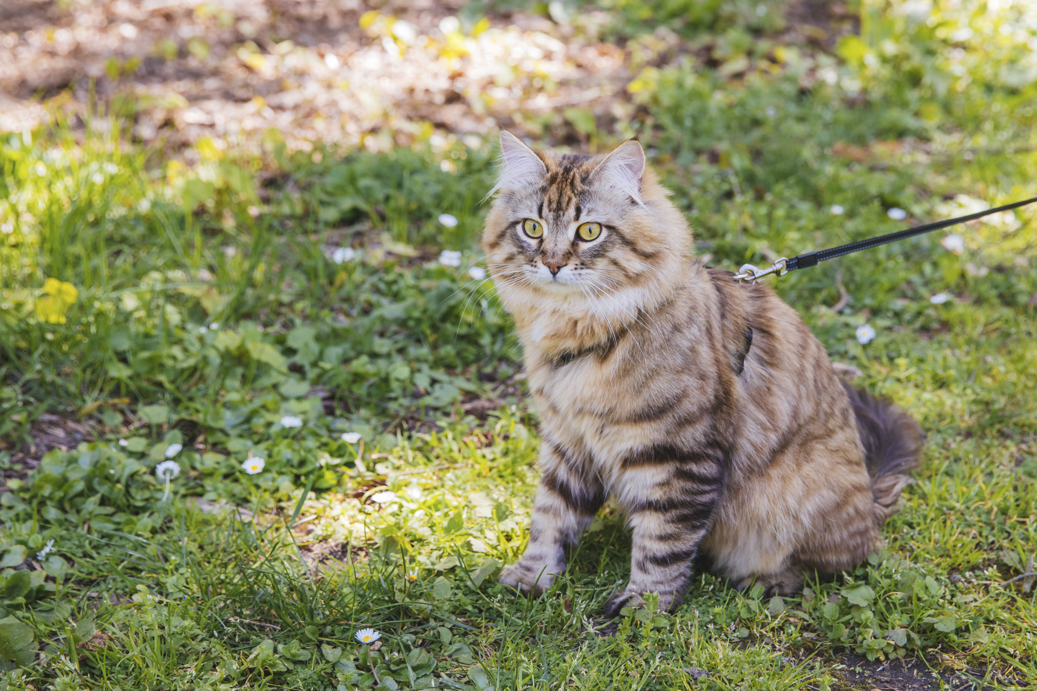 <p>Meet Moose! Moose is a Siberian and is one years old and is a curious adventure cat who often thinks of himself as a human or dog. Moose can be found either trekking the trails of Washington or roaming markets of Seattle with his pawrents! He likes birds, fish, food, exercise, the outdoors and hiking. He dislikes the heat, other kit cats and not being the center of attention. You can follow Moose on social media @moosetheadventurecat.{&nbsp;}The Seattle RUFFined Spotlight is a weekly profile of local pets living and loving life in the PNW. If you or someone you know has a pet you'd like featured, email us at hello@seattlerefined.com or tag #SeattleRUFFined and your furbaby could be the next spotlighted! (Image: Sunita Martini / Seattle Refined)</p>