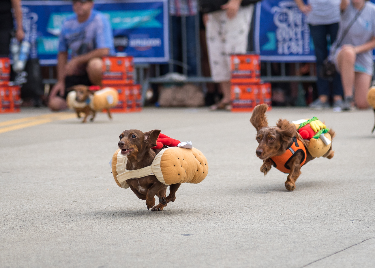 Dachshunds raced in 10 heats (plus one final heat) to see who's the swiftest weenie in the city as hundreds cheered them on from the sidelines. / Image: Phil Armstrong, Cincinnati Refined // Published: 9.21.18