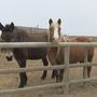 A family in Zillah saves horses who are on the verge of being slaughtered