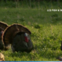 Public asked to document turkey, grouse