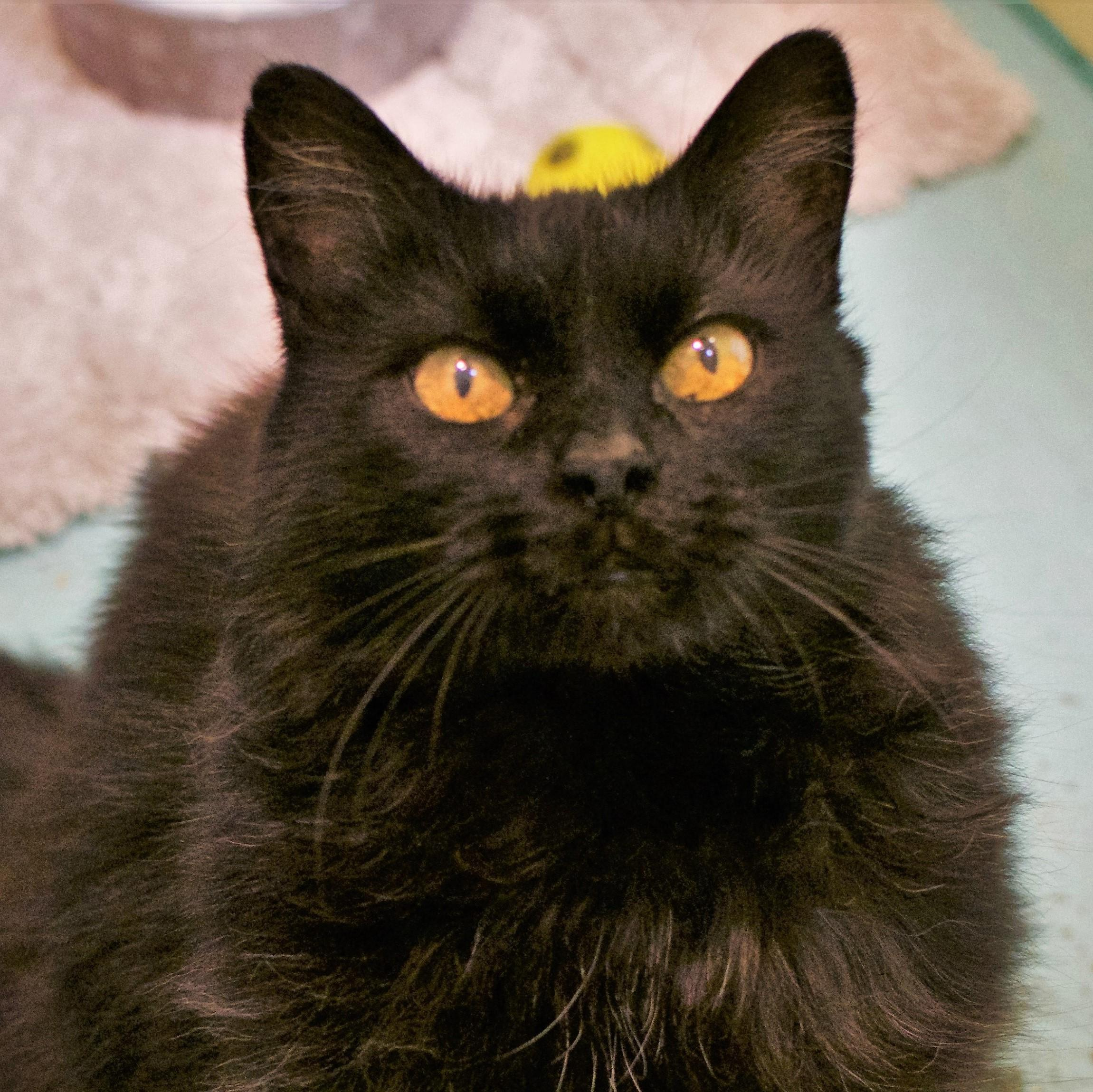 Hi friends, I'm Sassafrass – a petite, 12-year-old domestic medium-haired lady looking for a quiet, calm home to call my own. Chin rubs and playing fetch are two of my favorite things - I also have an independent side so I'm the perfect combination! Is your family of teens and adults missing a loyal, lovable companion? It's me! Visit soon!