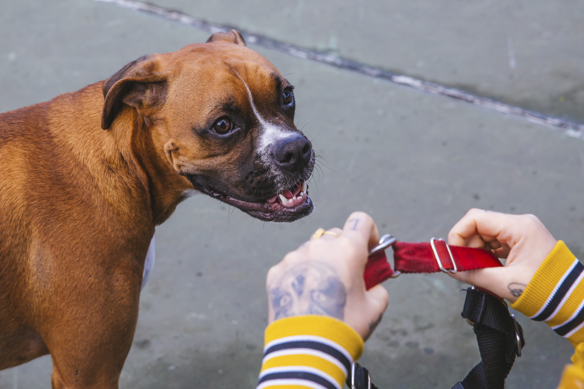 Everyone meet this beautiful 13-month-old Boxer, Russell! Russell is a fun lovin' pup who is living the single life. He likes berries, popcorn and tug-o-war. He dislikes baths and waking up early. You can follow Russell's dog journey through life on Instagram @carletonjames.{ }The Seattle RUFFined Spotlight is a weekly profile of local pets living and loving life in the PNW. If you or someone you know has a pet you'd like featured, email us at hello@seattlerefined.com or tag #SeattleRUFFined and your furbaby could be the next spotlighted! (Image: Sunita Martini / Seattle Refined).