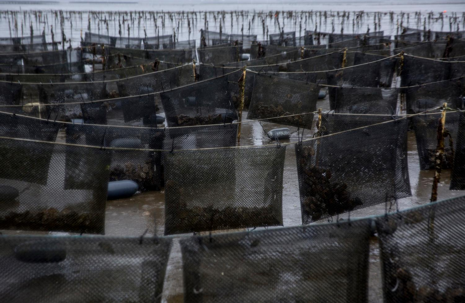 Oysters grow in flip bags, a technique that keeps the oysters safe from predators and encourages growth of big, thick oysters, by agitating the oysters as the tides change. (Sy Bean / Seattle Refined)