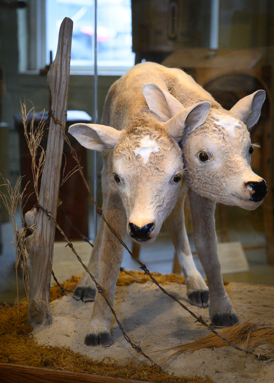 The second piece is a taxidermied, two-headed calf. It was born on an Indiana farm and only lived for 45 minutes. Because livestock born with polycephaly are so rare, the calf was preserved and given to the museum. / Image: Phil Armstrong, Cincinnati Refined // Published: 1.7.20