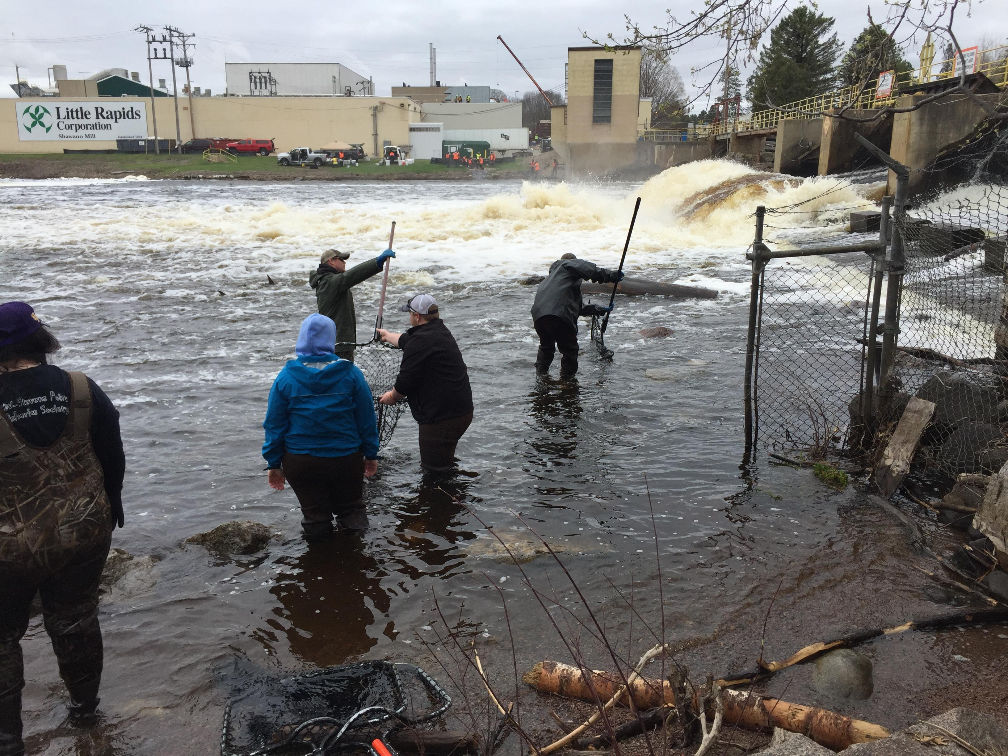 Sturgeon netted below Shawano Dam, April 19, 2017 (WLUK/Eric Peterson)