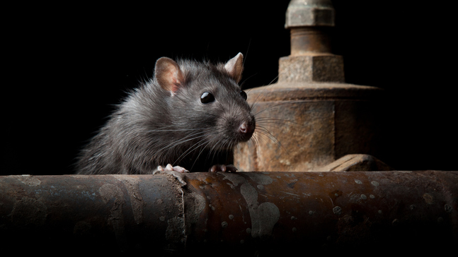 Rats! How to get them out of your house