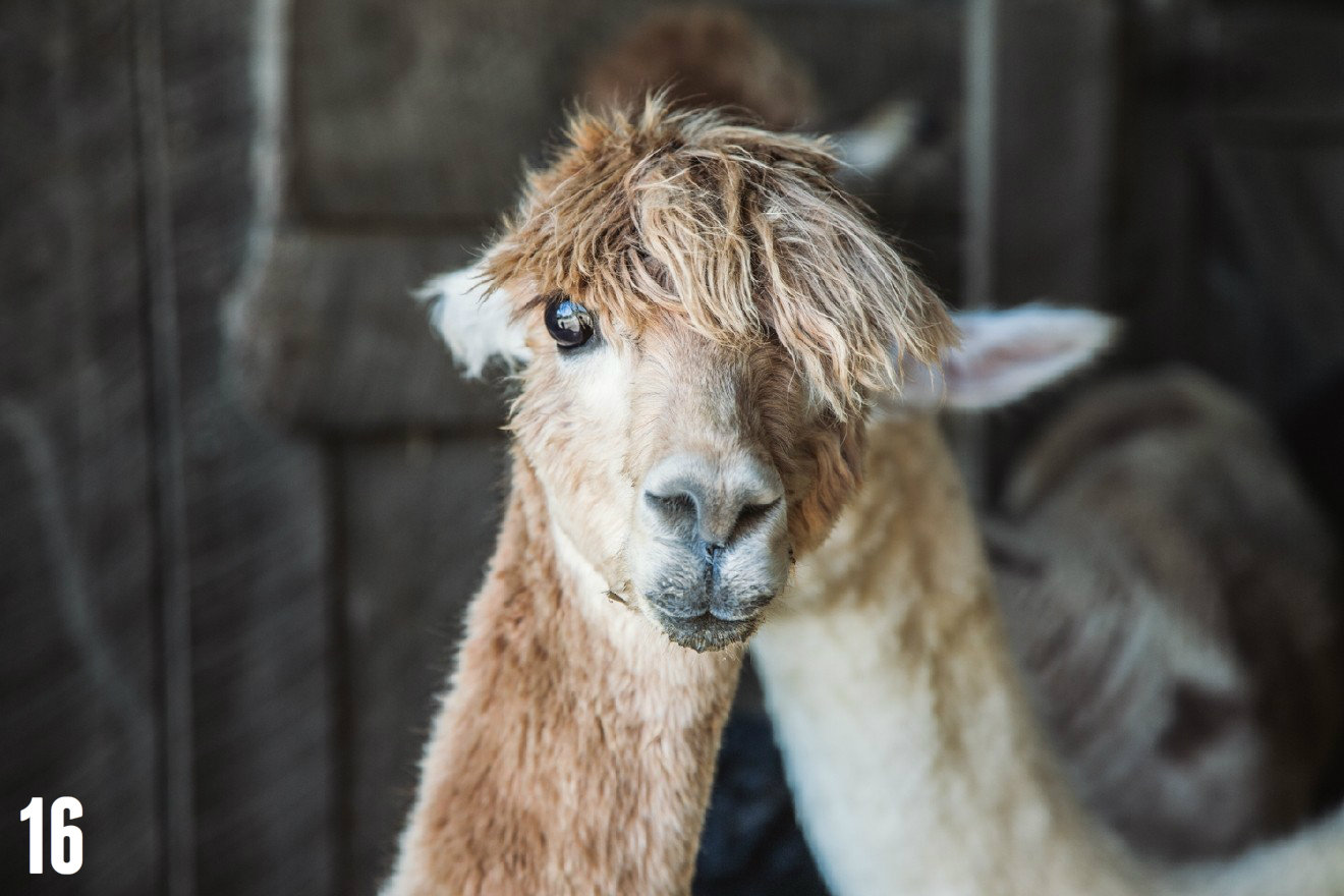 "STORY: ""Your Heart Will Melt After Looking At These Alpaca Pics"" / LOCATION: Eagle Bend Alpaca Farm in Burlington, Ky. / IMAGE: Catherine Viox / Published: 12.25.16"