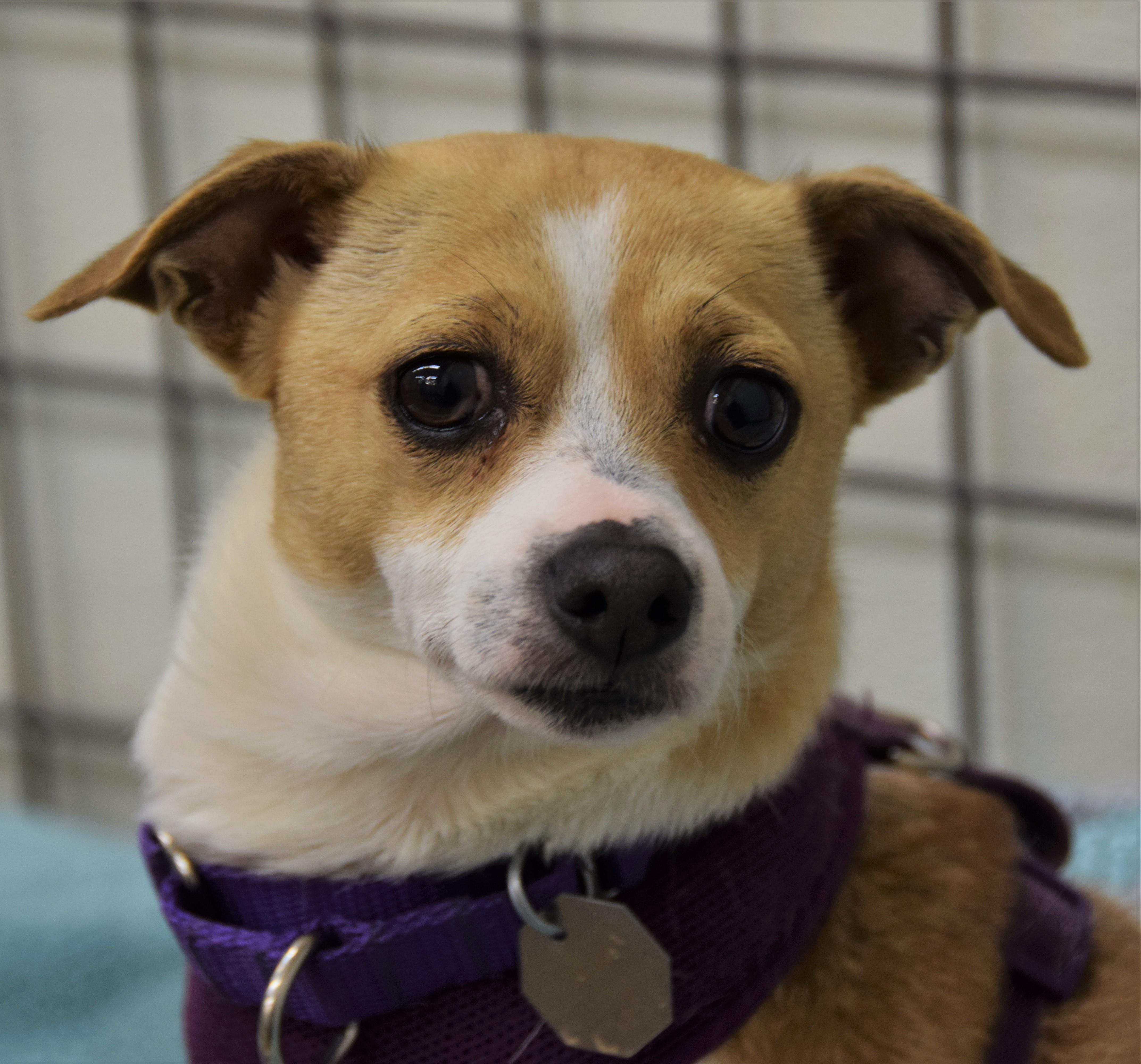 Charlie is my name, adorable is my game! I'm a three-year-old Jack Russell Terrier Chihuahua mix who would love to fit into your quiet, predictable routine! I can be a bit shy in new situations so a dog savvy home with teens and adults will help me thrive. I can't wait to be your loyal, dedicated companion!