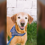 CBS5 Best Pet: Meet Bill the Yellow Lab