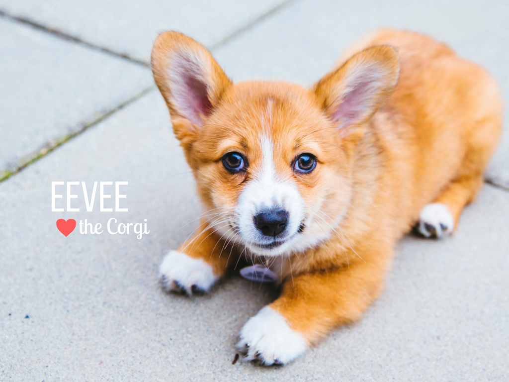 How cute is Eevee! Eevee is short for Evangeline Thunderstone Magnolia which is like the best name ever, right? Eevee is a four-month-old Pembroke Welsh Corgi who is living the dream in the Capitol Hill neighborhood. Eevee likes chewing on bully stick, chicken and cheese, getting the zoomies and making her human chase her around the house, meeting new dogs and people. She dislikes going down stairs, hearing loud noises and getting nail trims. You can follow Eevee's journey through life on her instagram account, @eevee.corgi. (Image: Sunita Martini / Seattle Refined).