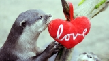PHOTOS: Otters play with Valentine's heart at UK wildlife park