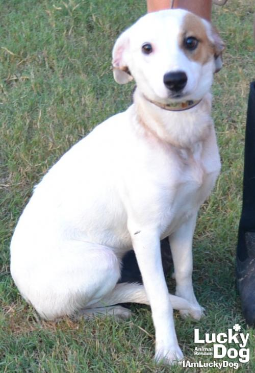 Beauty is a 1-year-old, 23-pound Labrador Retriever who was evacuated before the storm from{ }Florence, South Carolina. If you are interested in adopting Beauty, you can meet her{ }Sunday (September 16) from 12-2 pm at the Kentlands PetSmart in Gaithersburg, MD. (Image: Courtesy Lucky Dog Animal Rescue){ }