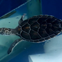 Large batch of green sea turtles released following cold front