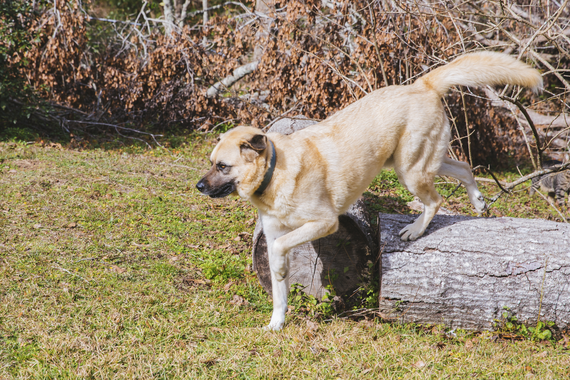 "Our pet of the week this week is Cody the 3-year-old Anatolian Shepherd!{ } Cody is described by his parents as a ""big lump of love.""{ } He also dons the nickname ""Never Enough"" because he wants you to pet him forever. There is nothing he dislikes (well, he's a bit camera shy) and he loves everyone. (Image: Sunita Martini / Seattle Refined)."