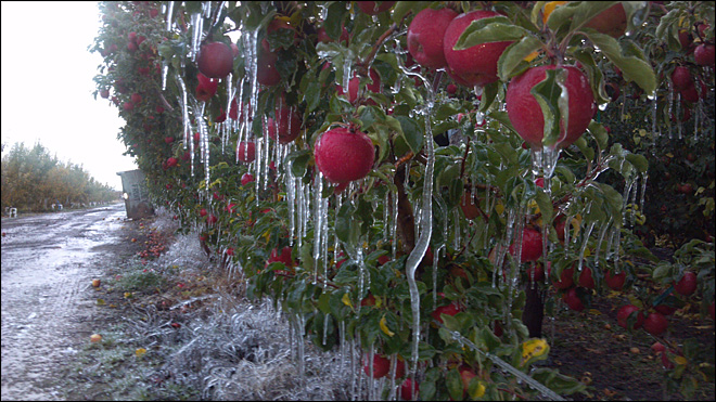 Photo of an iced-over apple orchard in Yakima. (Courtesy: John Verbrugge)