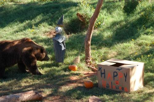 This Grizzly Bear enjoyed its Halloween celebration.