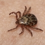 Ticks emerging unfazed following snowy winter