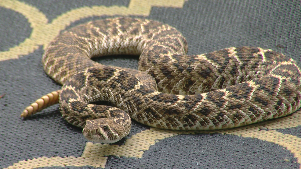 more snakes slithering into central texas yards keye