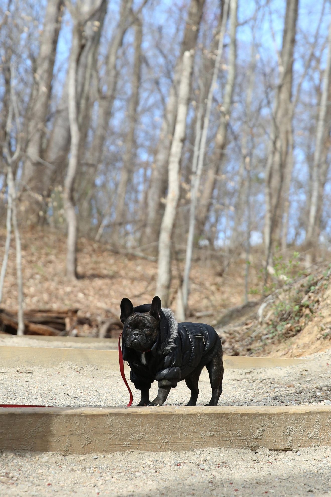 Meet Andouille, a 1.5-year-old French Bulldog, who hails from the Eastern Shore of Maryland. She has become the unofficial mascot of Shop Refine, and their employee of the year! Andouille loves people watching, anything that breaths, ice cubes and being chased. But she is most definitely not a fan of swimming, boats and the large statutes around McLean Gardens. Andi has taken to burrowing underneath the covers and can be really hard to catch unless you have a treat in hand! If you or someone you know has a pet you'd like featured, email us at dcrefined@gmail.com or tag #DCRUFFined and your furbaby could be the next spotlighted! (Image: Amanda Andrade-Rhoades/ DC Refined)