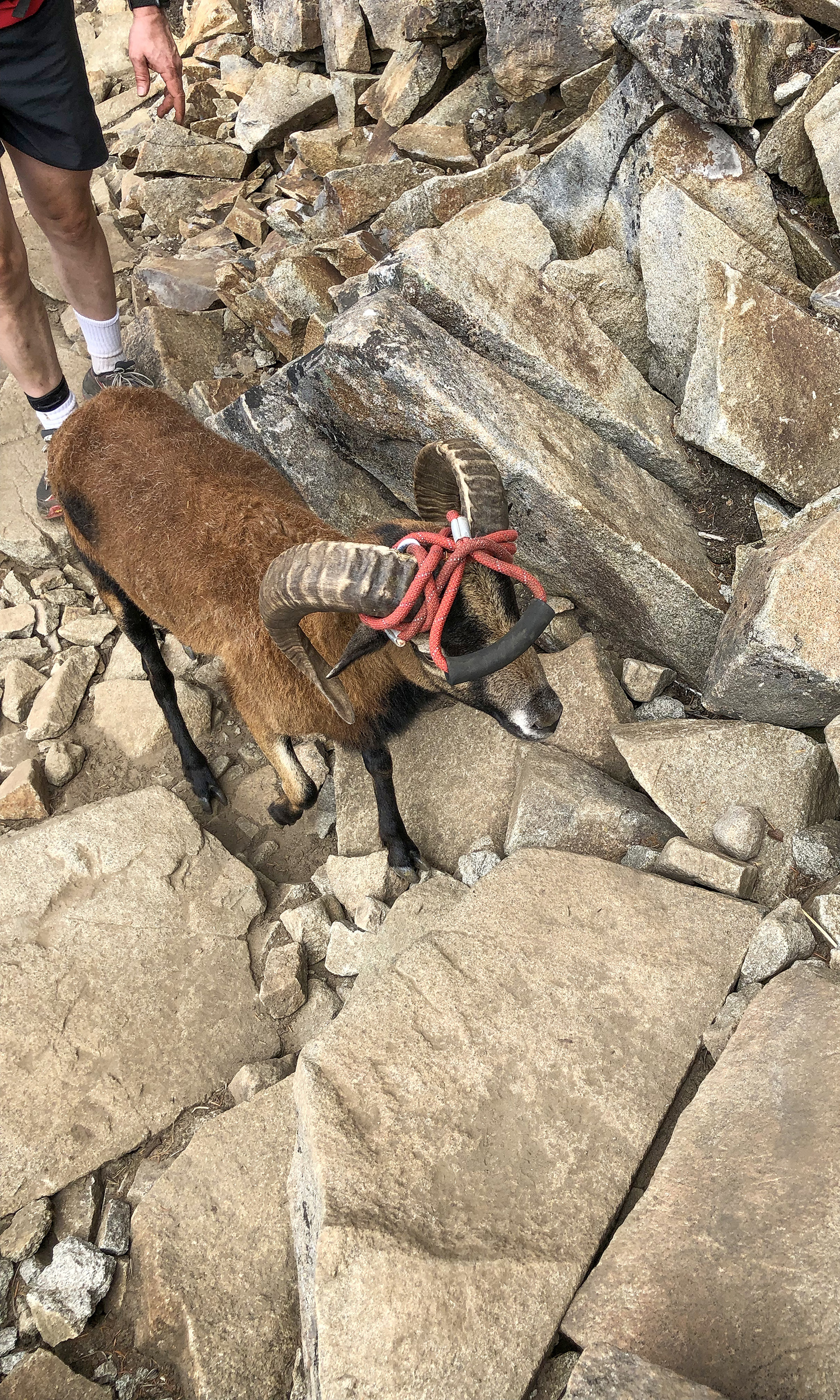 <p>A domesticated ram makes the boulder field look easy. While leashed dogs are allowed on the trail, it's not recommended due to a lack of water and strenuous trail conditions. (Image:{&nbsp;}Rachael A. Jones / Seattle Refined){&nbsp;}</p>