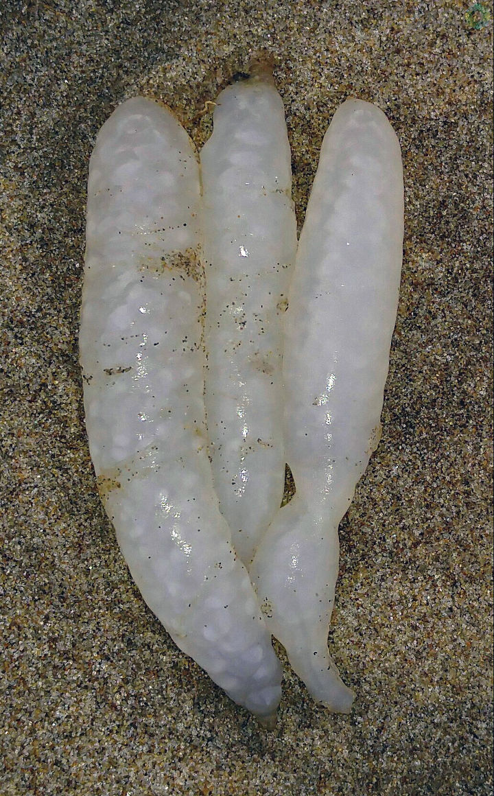 Debbie Tegtmeier shared these photos of what appear to be squid eggs that washed ashore in Winchester Bay, Oregon.