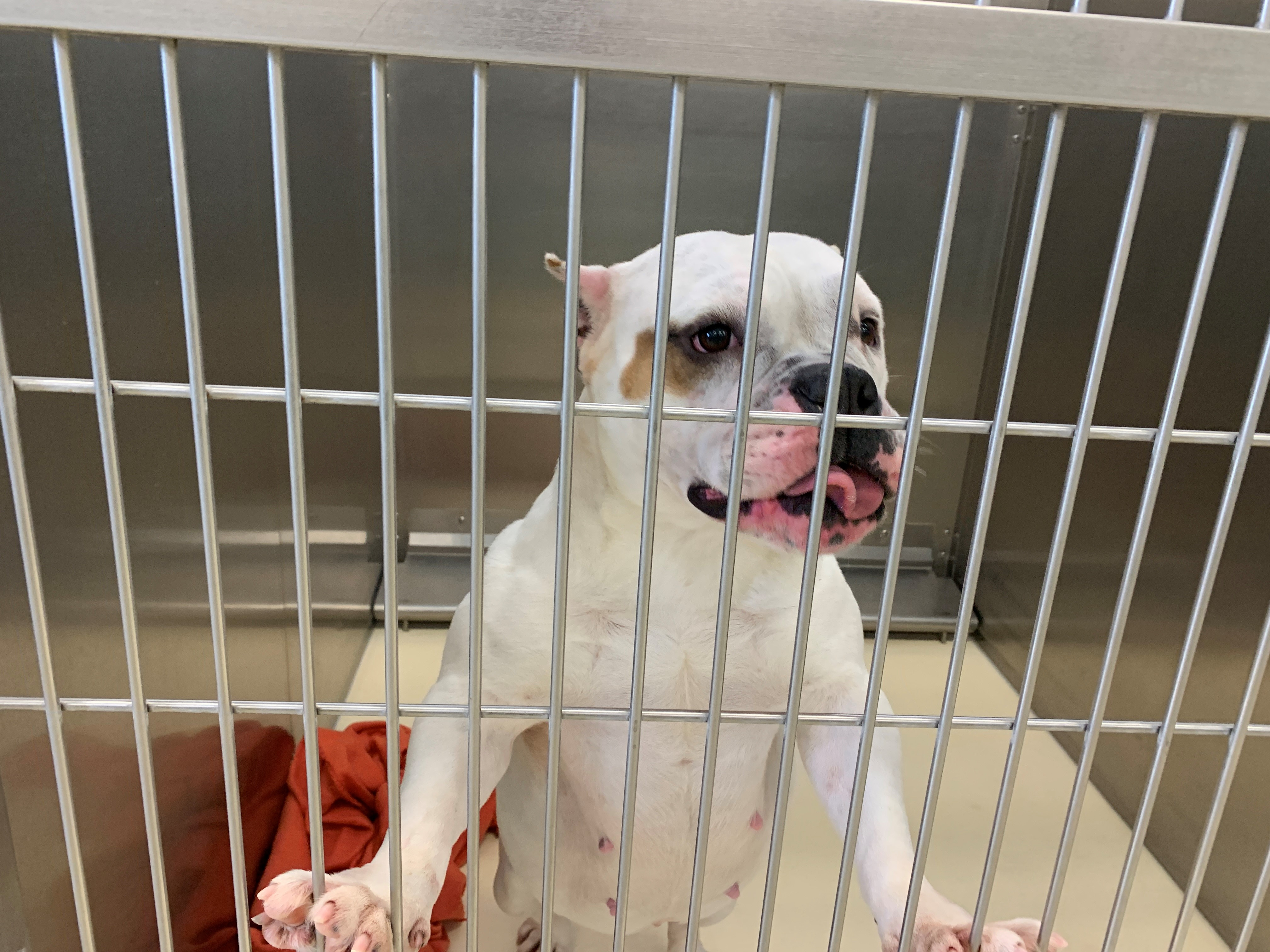 First Lady Hamhock is a female English bulldog. (WWMT/Trisha McCauley){ }
