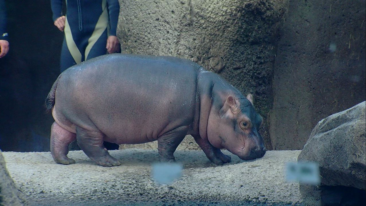 GALLERY: 50 adorable photos of Fiona (Photos: Cincinnati Zoo)