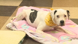 Abandoned, paralyzed dog finds forever home