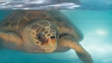 Nature center in Boca to release the Kraken, a sea turtle