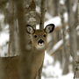DNR urges hunters to check deer as chronic wasting disease spreads