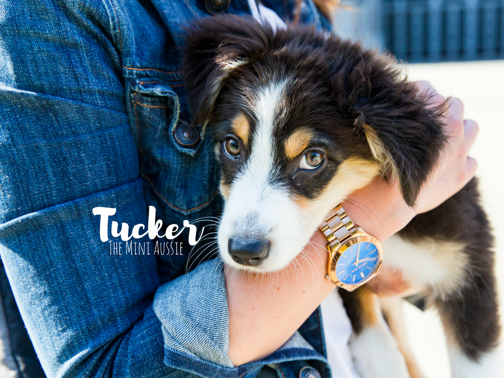 Oh, Tucker. You precious little angel baby. I have to admit - I know this dog, and he is the dreamiest of dreams. He is perfect parts playful, loyal, and snuggly. Tucker is a 4.5 month old Mini Australian Shepard and lives the city life with his mumsie, Caitlin, in Pioneer Square. Caitlin adopted Tucker from Aspen Rain Fields in Ferndale, WA. Tucker likes chewy treats, chasing pigeons, and playing with other dogs. He dislikes waiting for dinner...we get it Tuck, we get it.  The Seattle RUFFined Spotlight is a weekly profile of local pets living and loving life in the PNW. If you or someone you know has a pet you'd like featured, email us at hello@seattlerefined.com or tag #SeattleRUFFined and your furbaby could be the next spotlighted! (Image: Sunita Martini / Seattle Refined)