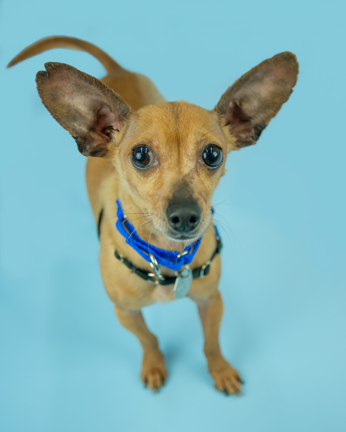 Hi there, I'm Hector – an adorable five year old Chihuahua miniature dachshund mix with big ears to match my larger than life personality! I'd love to join my new family in daily exercise activities, play time, and after all that – snuggling on the couch. Due to my preference for my own space during playtime and meal time, an adult only home will help me thrive! Did I mention I like to chat too? I might be the best friend you've been waiting for!<p></p>