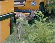 CWD infected deer in Wisconsin near buses, photo courtesy of WIDNR, March 5, 2018 (WLUK)