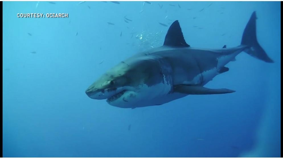 Great White Shark Research Key To Protecting Food Chain Researcher Says