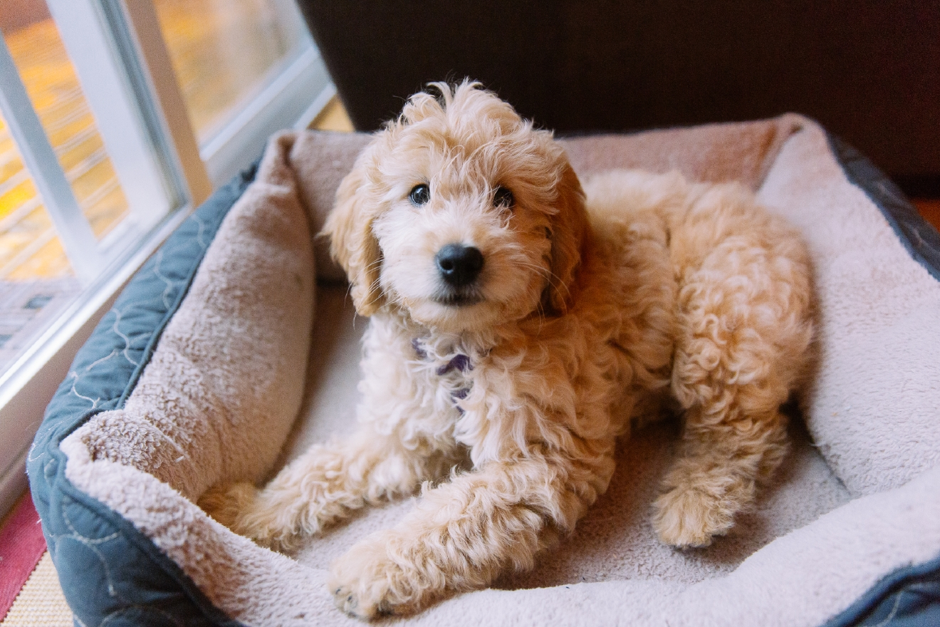 Lily is possibly the cutest dog we've ever seen. Lily is a Goldendoodle (Poodle + Golden Retriever) and is just a lil' puppy. (Image: Seattle Refined)
