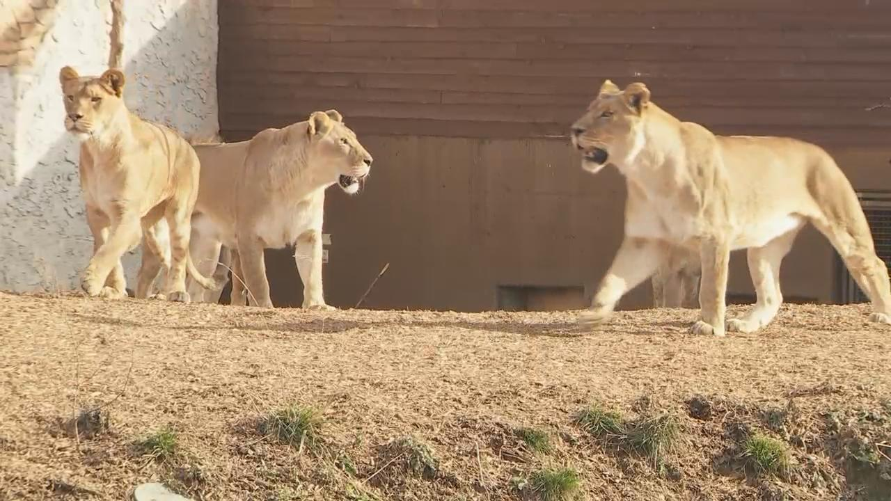 The Columbus Zoo set the dinner table with turkey and all the trimmings, but it wasn't for people.  It was for its pride of lions. (WSYX/WTTE)