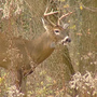 Deer collisions on the rise in Alabama