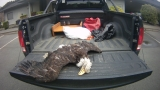 Fish and Wildlife Troopers seek public's help in an eagle poaching case