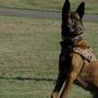 This time, Steubenville K-9 Bono catches a good guy