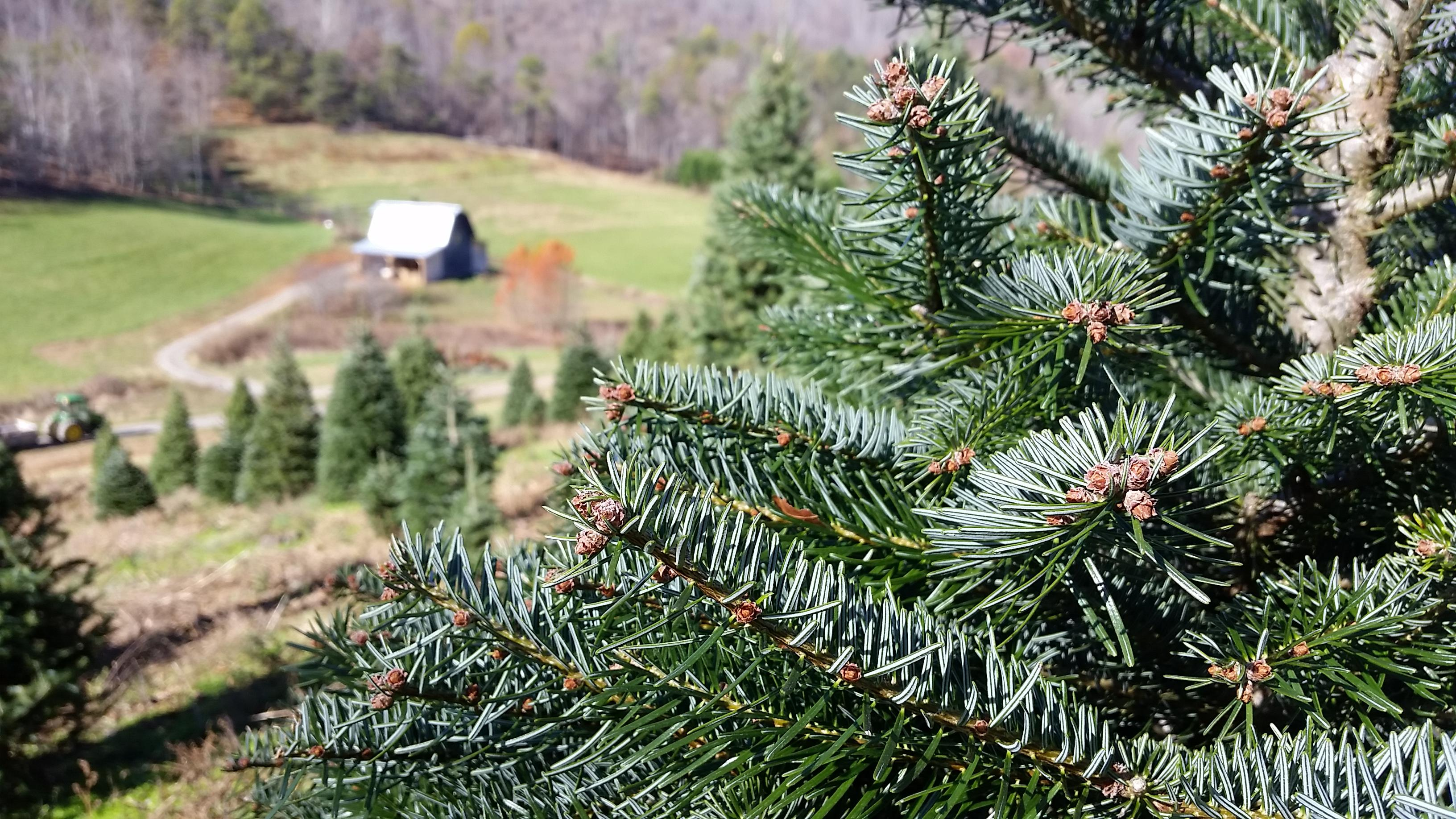 Sandy Hollar Farms produces mostly Fraser fir, but also has a few exotic varieties including Turkish fir, Northern fir, and White Pine. (Photo credit: WLOS Staff)