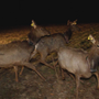 West Virginia officials to show off 50 elk caught in Arizona
